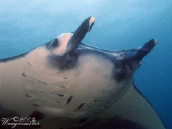 'Close up but wide angle' (Manta birostris) - Nusa Penida... by Marco Waagmeester 